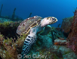 This Hawkbill turtle lives on this wreck.  Photo was take... by Jeri Curley
