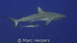 Grey reef shark Peleliu Island november 2008. Canon G9 by Marc Herpers