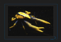 Crinoid crab by Sven Tramaux
