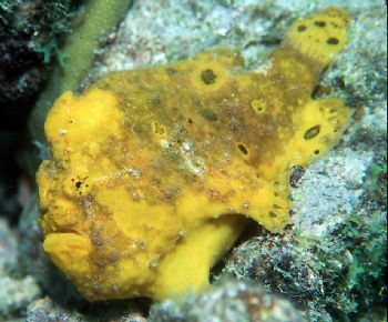 Yellow frogfish taken in Curacao using NikV, 35mm lens, c... by Beverly Speed