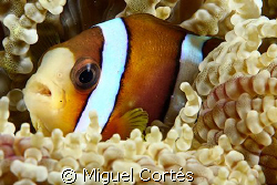 Clown fish in anemone. by Miguel Cortés