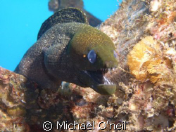Yellow mouthed moray, Sea Tiger Wreck 100 feet, Honolulu ... by Michael O'neil
