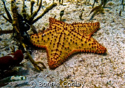Sea Star seen in Isla Mujeres.  Photo taken with a Canon ... by Bonnie Conley
