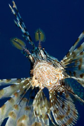 Lionfish by Dray Van Beeck