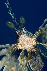 Lionfish by Dray Van Beeck