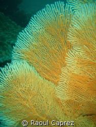 Coral by Raoul Caprez