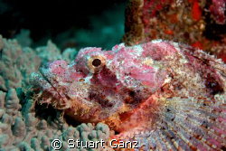 Triton Scorpionfish - Taken with my 20D F/5.6 1/60s ISO 2... by Stuart Ganz