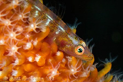 Whip Coral Goby portrait.  Lembeh Strait, Sulawesi.  Cano... by Ross Gudgeon