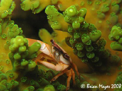 Red-dotted Coral Crab (Trapezia cymodoce). During the day... by Brian Mayes