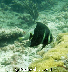 Juvenille angelfish on the Inside Reef at Lauderdale by t... by Michael Kovach