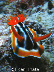 This Nudi was shot off with a Sea & Sea DX8000 camera, sw... by Ken Thate