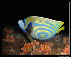 Angelfish, night dive. Canon G9 & Inon D2000. by Bea & Stef Primatesta