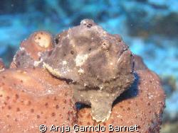This is Fred, the frog fish. He lives at Half Moon Bay Wa... by Anja Garrido Barnet