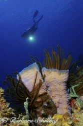 Purple Tube Sponge with Crinoids are being checked out by... by Barbara Schilling
