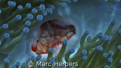 "Anemone ""mouth"" by Marc Herpers"
