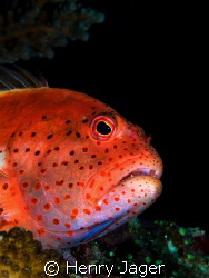 """""""Hawkfish"""" from the Maldives. by Henry Jager"""
