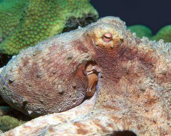 Night Hunter.  Caribbean octopus taken in Roatan, Hondura... by Beverly Speed
