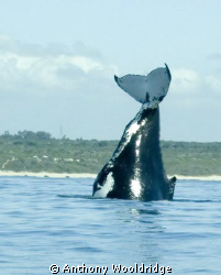 A Humpback whale doing a Headstand by Anthony Wooldridge