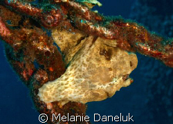 Just hanging out (frogfish on an anchor) by Melanie Daneluk