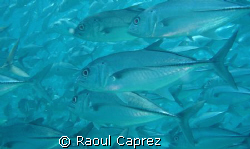 a school of jackfishes by Raoul Caprez