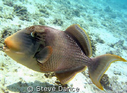Yellow Margin Trigger Fish. It was in the process of exca... by Steve Dance