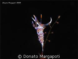 Cratena peregrina, Porto Badisco - Lecce - Italy, Canon G... by Donato Margapoti