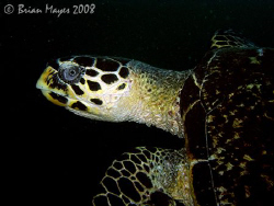 This Hawksbill Turtle swam past just as I had taken a mac... by Brian Mayes