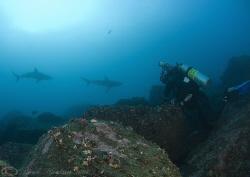 Mark with Galapagos sharks. Wolf island. Galapagos. D200,... by Derek Haslam