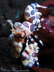 Harlequin Shrimp (Hymenocera elegans) on a sea star - Ser... by Marco Waagmeester