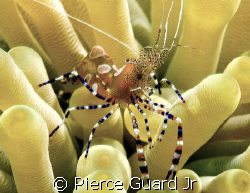 This guy was crawling all over this anemone in the sand a... by Pierce Guard Jr