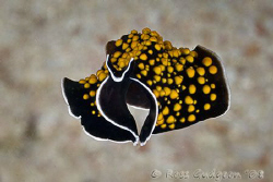 Flatworm (or is that Batworm) free swimming.  Ningaloo Re... by Ross Gudgeon