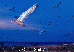 the birds of Layang-Layang by Geoff Spiby