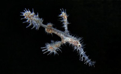 white ornate ghost pipefish. There were two fo them, brig... by John M Akar