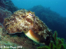 Friendly and curious Cuttlefish....¸><((((º>....Canon G9 by Brian Mayes
