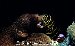 2 Moray Eels and Company.  Another case of being in the r... by Pierce Guard Jr