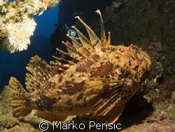 Red Scorpionfish on the wreck of the Vassilios 48m. Komiz... by Marko Perisic
