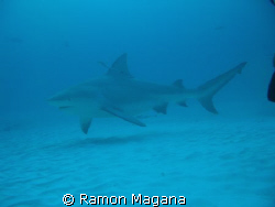 SHARK DIVING AT PLAYA DEL CARMEN... by Ramon Magana