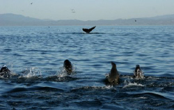 Seal and Humpbacks all happy with the amount of food in M... by Dan Lee