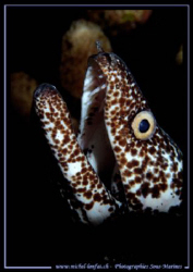 A beautiful Spotted Moray... :O) ... by Michel Lonfat