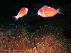 Pair of Pink anemonefish (Amphiprion perideraion) hoverin... by Marco Waagmeester