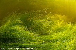 Dancing plants in a river. by Dominique Danvoye