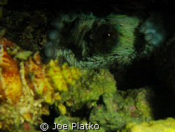 hidden octopus that I found while snorkeling only about 1... by Joe Platko