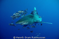 This Oceanic white tip seemed exited about the charging o... by Henrik Gram Rasmussen