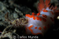 KISS OF DEATH - a nudi snacks on another nudi at critter ... by Carlos Munda