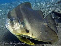 Batfish (Platax teira) at a cleaning station - Seraya, Ba... by Marco Waagmeester