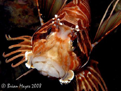 """What a happy face. ;-)"".....Spotfin Lionfish (Pterois an... by Brian Mayes"
