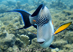 Sohal Surgeonfish: Very common in the red sea and not too... by Steve Dance