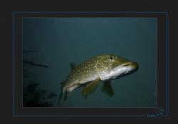 Pike, Lac de la Brèche by Sven Tramaux