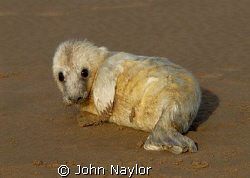 grey seal pup a few days old.used 400mm lens to avoid cau... by John Naylor