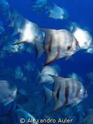 School of batfish. City of Recife's sea coast . Vapor de ... by Alexandro Auler